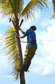 Gardener In Harness Climbing Up A Coconut (cocos Nucifera) Palm Tree To Cut Off Dead Branches In A T poster
