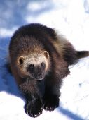 pic of wolverine  - Adult wolverine standing in the winter snow - JPG