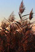 Reeds, Phragmites Communis