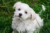 Cute White Doggie Looks Trustful Cute White Doggie Looks Trustful poster