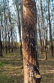 Trunk of rubber trees and rubber forest