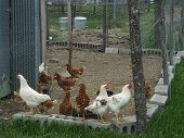 picture of chicken-wire  - These chickens are quite happy with their environment as they were clucking away - JPG