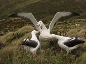 Three Royal Albatross Dancing