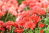 Red Chrysanthemum Flower