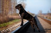 cane corso dog portrait outdoors