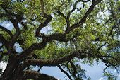Quercus virginiana - Southern Live Oak Tree