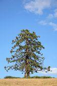 Pine Fir Tree