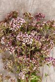 Origanum flowers