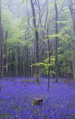 foto of harebell  - Beautiful carpet of bluebell flowers in misty Spring forest landscape - JPG
