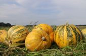 big yellow pumpkins