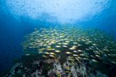School Of Fish Over A Reef