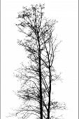 Black Leafless Twin Trees Photo Silhouette On White Background