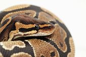 foto of pythons  - Ball Python close up  - JPG