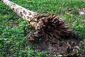 Dead birch tree
