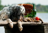 pic of english setter  - setter with hunting bird and accessories horizontal outdoors - JPG