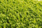Agujas verdes