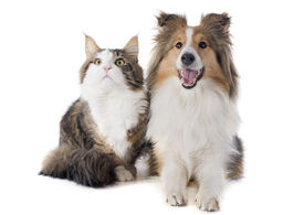 picture of coon dog  - portrait of a purebred shetland dog and maine coon cat in front of white background - JPG