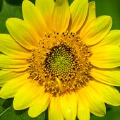 foto of dwarf  - Dwarf Sunflower or Helianthus annuus L - JPG