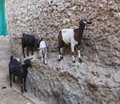 picture of ethiopia  - Goats stand on vertical wall of the house in ancient city of Jugol - JPG
