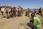 Babile. Ethiopea - December 23, 2013: Camels For Sale At One Of The Largest Livestock Market In The