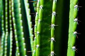 Spikes of a green San Pedro Cactus