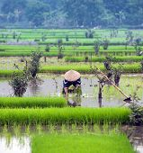 Vietnamese farmer on rice paddy field in Ninh Binh, Tam Coc. Organic farming in Asia