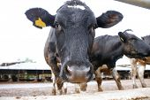 meat dairy breed cows on farm