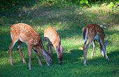 pic of black tail deer  - Three spotted whitetail deer fawns eating near a forest - JPG
