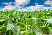 picture of soybeans  - Close - JPG