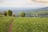 stock photo of hamlet  - Broad beans growing near the Cotswolds hamlet of Hailes, Gloucestershire, England.