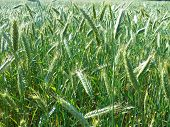 Field ripening cereals background