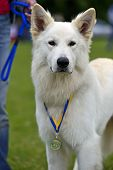 image of swiss shepherd dog  - Swiss Shepherd dog at a dog show in the spring - JPG