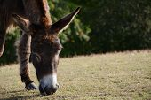 Donkey Grazing In The New Forest