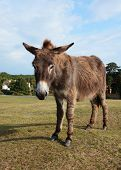 New Forest Donkey In Lyndhurst, Hampshire
