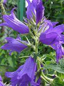 Broad-leaved campanula flowers in garden