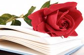 foto of poetry  - Open book and red rose on pages of book on white background romantic vintage look retro poetry concept - JPG