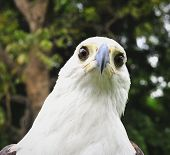 stock photo of fish-eagle  - The African Fish Eagle  - JPG