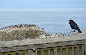 Crow Looking At Ocean