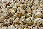 image of mezcal  - freshly cut agave heads ready to be baked in ovens - JPG