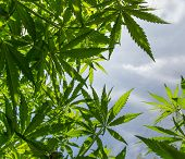 picture of marijuana plant  - Young cannabis plants - JPG