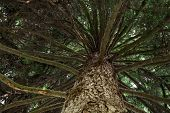 Evergreen Tree - View From The Bottom Up