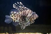 picture of venom  - A red lionfish Pterois volitans is a venomous coral reef fish from Indian and Pacific Oceans