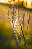 stock photo of cobweb  - Delicate cobweb intertwined with twigs and illuminated by a rising sun - JPG