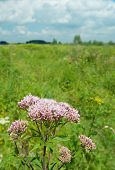 Pink Blooming Common Hemp Agrimony