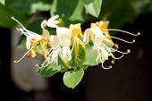 stock photo of honeysuckle  - Closeup shot of Honeysuckle flower on the sunny day.