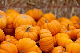 image of piles  - pile of small cute pumpkins at pumpkin patch - JPG
