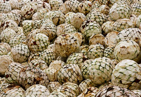 pic of mezcal  - freshly cut agave heads ready to be baked in ovens - JPG
