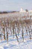 winter vineyard near Hnanice, Southern Moravia, Czech Republic