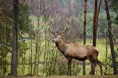 Beautiful image of deer stag in forest landscape of forest in Autumn