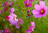 Bright Beautiful Pink Flowers on the Green Blurred Background. Floral Background